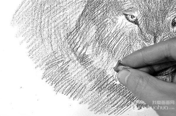 素描 狼的绘画步骤 3图片