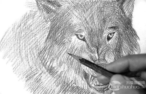 素描 狼的绘画步骤 3
