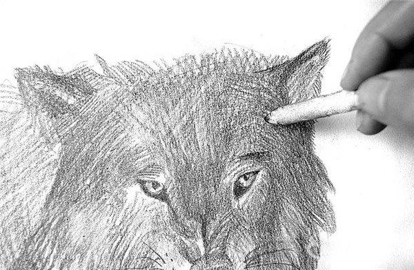 素描:狼的绘画步骤(4)