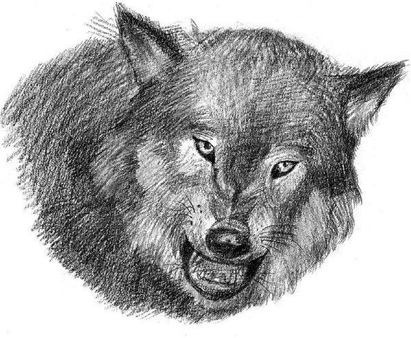 幼交狼�_素描:狼的绘画步骤(4)