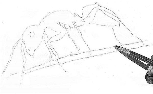 素描教程 素描动物 > 素描小蚂蚁的绘画步骤      蚂蚁也是动物世界