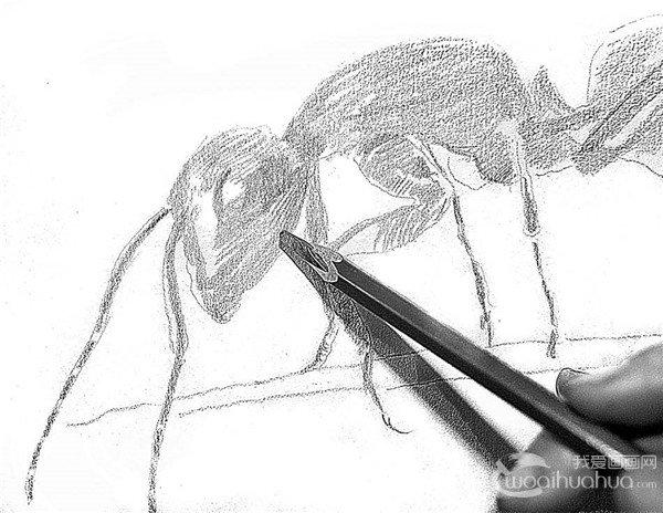 1、这里我们可以放大蚂蚁,进行全面的认识和理解,用较硬的B铅笔来起形,画出大的结构。  素描小蚂蚁的绘画步骤1 2、蚂蚁是黑色的,所以整体都画上线条,略微体现深浅变化。  素描小蚂蚁的绘画步骤2 3、深入表现蚂蚁的身躯,看上去是个很简单的过程,实际上放大的蚂蚁,一样具有清晰的结构,抓住结构,细致刻画。  素描小蚂蚁的绘画步骤3