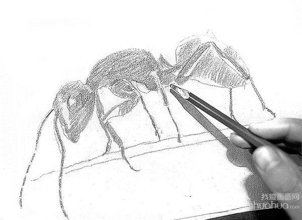 学画画 素描教程 素描动物 > 素描小蚂蚁的绘画步骤      蚂蚁也是