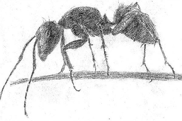 素描小蚂蚁的绘画步骤