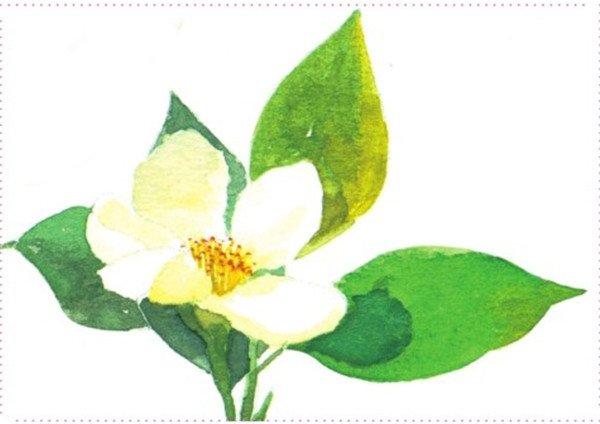 水彩画:山茶花的表现    1,先绘制后面的叶子的颜色,再绘制前面花朵