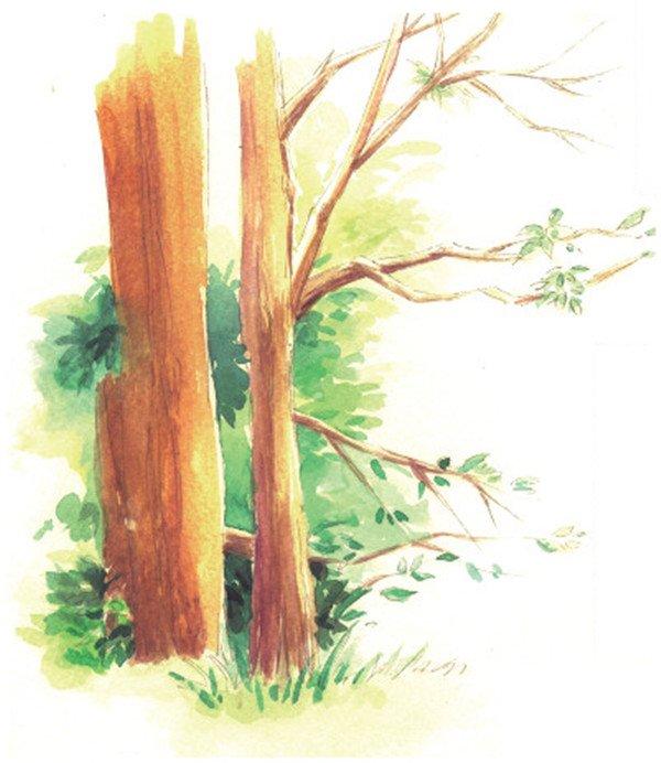 水彩技巧:枝干的基本画法